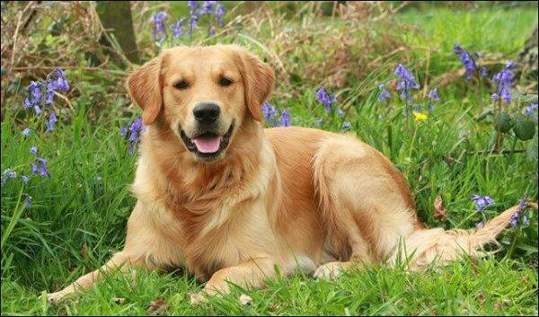 Golden Labrador Retriever