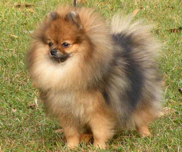 Pomeranian spitz'in sable rengi